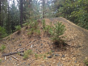 Pine needles on a mound a sign of mine tailings